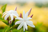 White Jasmine flowers — Stock Photo