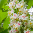 Blossoming chestnut closeup. — Stock Photo