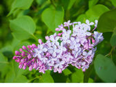 Branch of lilac. — Stock Photo