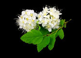 Branch of white flowers on black. — Stock Photo