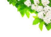White flowers angular horizontal frame. — Stock Photo