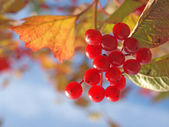 Cluster red guelder-rose berries. — Stock fotografie
