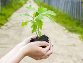 A young sprout of an oak in female hands. — Stock Photo