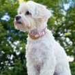 Havanese dog — Stock Photo #11437803