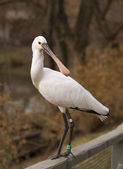 Euroasian spoonbill — Stock Photo