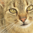 Gray-eyed cat — Stock Photo #11755692