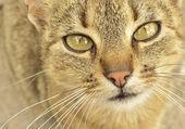 Gray-eyed cat — Stock Photo