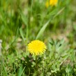 Stock Photo: Dandelion