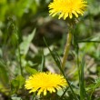 Two yellow dandelion flowers — Stock Photo