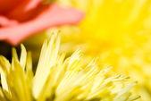 Petals of a yellow chrysanthemum — Stock Photo
