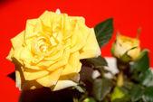 Flor de uma rosa amarela sobre um fundo vermelho — Foto Stock