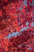 Red Leaves — Foto de Stock