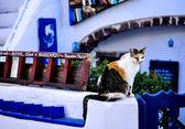 Santorini Cat — Stock Photo