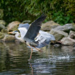 Royalty-Free Stock Photo: Heron dancing