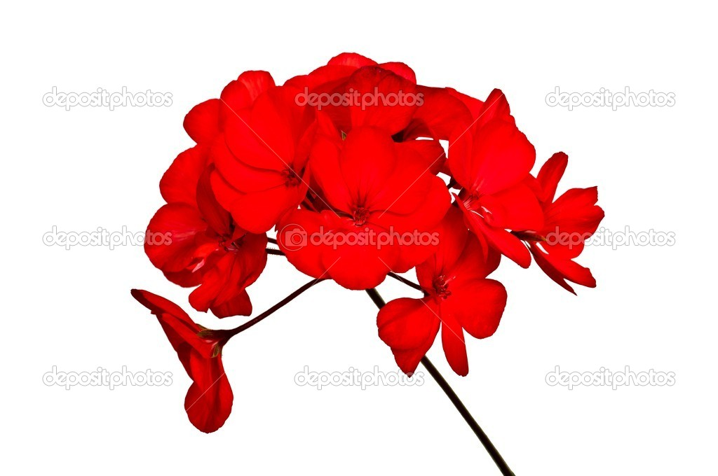 Bunch of blooming red geraniums, isolated on white background — Stock Photo #11152584