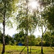 Birches Trees — Stock Photo