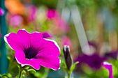 Background - Surfinia Flower — Stockfoto