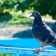 Rock Pigeon — Stock Photo