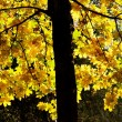 Golden Maple — Stock Photo