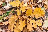 осенние листья дуба — Стоковое фото