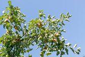 Eco pommes — Photo