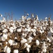 Stock Photo: Cotton Fields