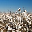 Cotton Fields — Stock Photo #11298423