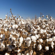 Cotton Fields — Stock Photo #11298448