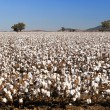 Cotton Fields — Stock Photo #11298485