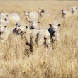 Smiling Sheep - Stock Photo