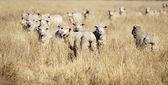 Mouton souriant — Photo