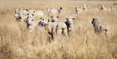 Smiling Sheep — Stock Photo