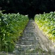 Stock Photo: Agriculture Land Dividing Tobacco Farms