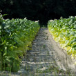 Agriculture Land Dividing Tobacco Farms — Stockfoto #11858123