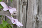Pink flowers on a wooden wall — Stock Photo