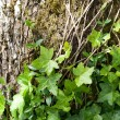 Tree bark with ivy — Stok fotoğraf
