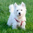 Foto Stock: White dog on grass background