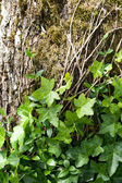 Tree bark with ivy — Stock Photo