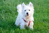 Biały pies na tle trawa — Zdjęcie stockowe