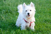 White dog on a grass background — Stok fotoğraf