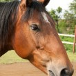 Large portrait of beautiful thoroughbred horse — Stock Photo