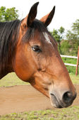 Large portrait of beautiful thoroughbred horse — Stock Photo