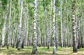 Berk grove in juli — Stockfoto