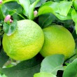 Lemons hanging on tree — Stock Photo