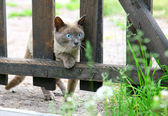 Curious hunting young blue-eyed siamese cat — Stock Photo