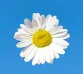 Beautiful flower daisy on blue sky background — Stock Photo