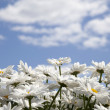 Daisies on a background of the sky with clouds — Stock Photo