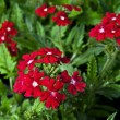 Stock Photo: Red verbena
