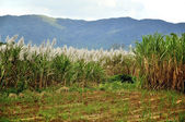Sugar Canes — Stock Photo