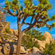 Joshua Tree Landscape — Stock Photo
